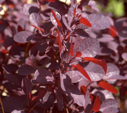 rød busk