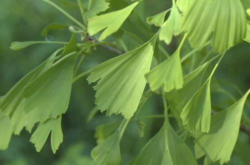 ginkgo biloba træ